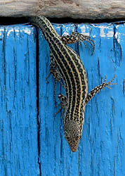 Lizard from album's back cover